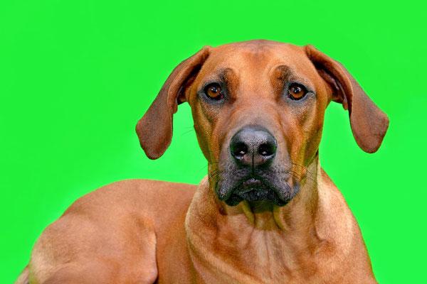 Rhodesien Ridgeback, Tierfotografie, Hund, Studio