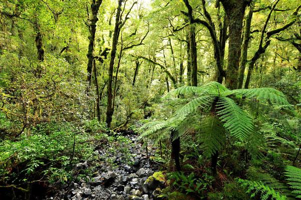 Neuseeland, Südinsel, Regenwald, Silberfarren