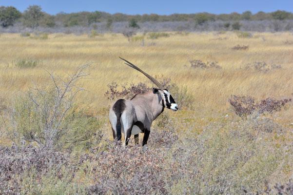 Namibia - Rundfahrt - Reise - Rundreise - Etosha National Park - Oryx