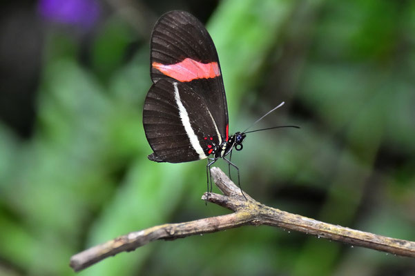 Pura Vida - Costa Rica - Fauna - Schmetterling - Schwarz - Rot