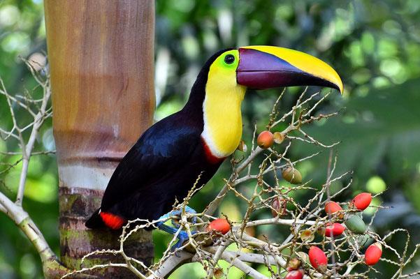 Pura Vida - Costa Rica - Fauna - Vogel - Tukan