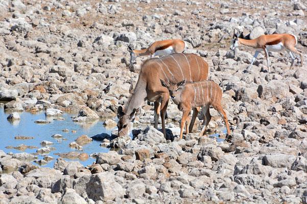 Namibia - Rundfahrt - Reise - Rundreise - Etosha National Park - Kudu