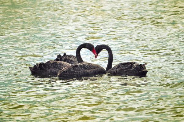 Neuseeland, Nordinsel, See, Schwarzer Schwan, Schwäne, Herz, Black Swan