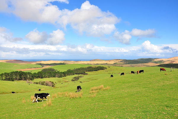 Neuseeland, Nordinsel, Wiese, Kuh, Kühe, Cape Reinga
