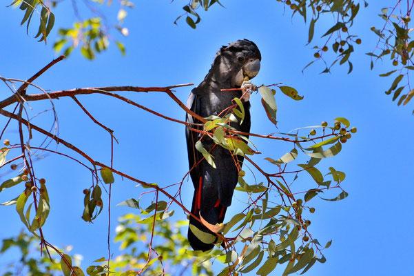 Australien, Australia, Westaustralia, Western Australia, Landschaft, Vogel, Schwarz, Kakadu, Red Tailed Cockatoo