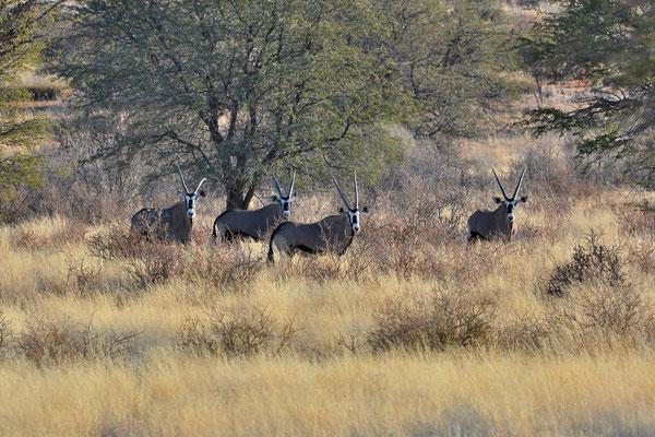Namibia - Rundfahrt - Reise - Rundreise - Landschaft - Kalahari - Oryx