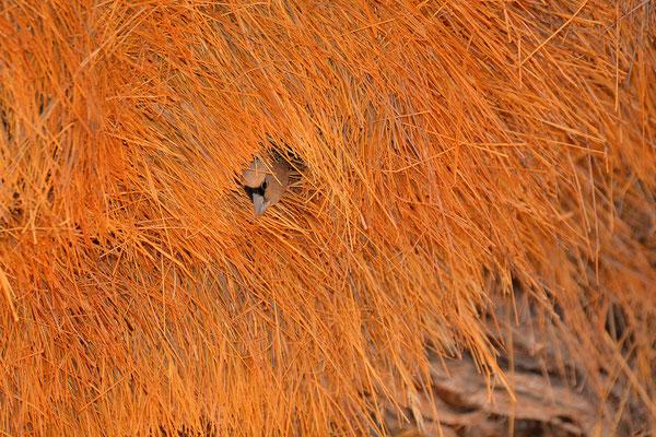 Namibia - Rundfahrt - Reise - Rundreise - Landschaft - Namib Naukluft Park - Siedelweber - Weberfogelnest