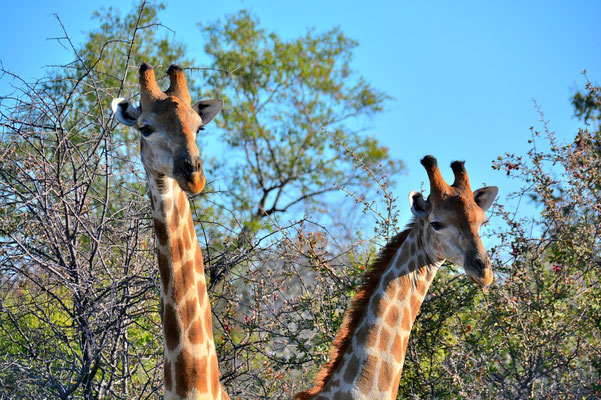Namibia - Rundfahrt - Reise - Rundreise - Etosha National Park - Giraffe