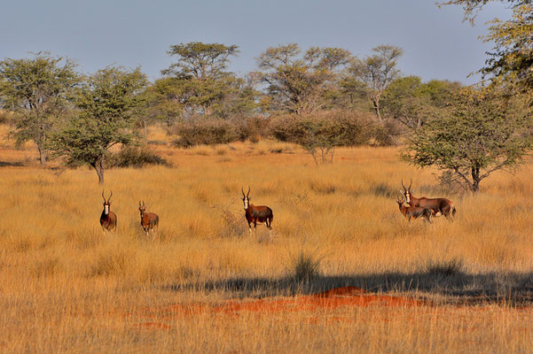 Namibia - Rundfahrt - Reise - Rundreise - Landschaft - Kalahari - Blessbock - Kuhantilope
