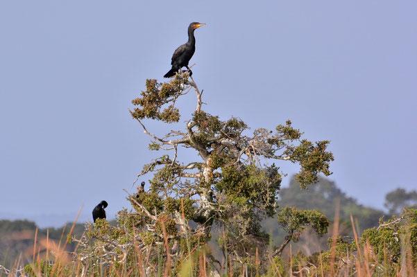Australien, Australia, Westaustralia, Western Australia, Landschaft, Vogel, Kormorane, Cormaorant