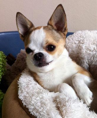 Chihuahua adulte produit à notre 4ème année d'élevage