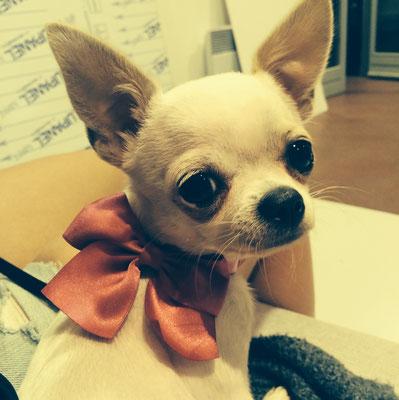 Chihuahua adulte produit à notre 5ème année d'élevage