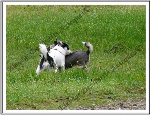 les chaleurs chez le chihuahua - Femelle bleu