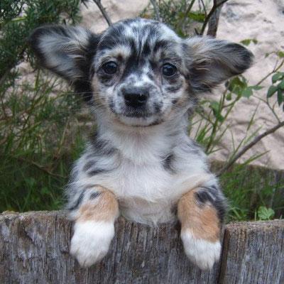 Chihuahua couleur merle