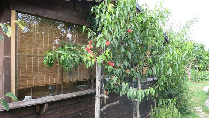 Spalier-Obst, hier ein Pfirsich.