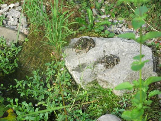 Der Teich, Simse, Schwanen-Blume und kleiner Rohrkolben ergeben den Uferbewuchs.