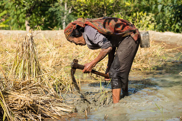 Rice Field - Nagaland - India