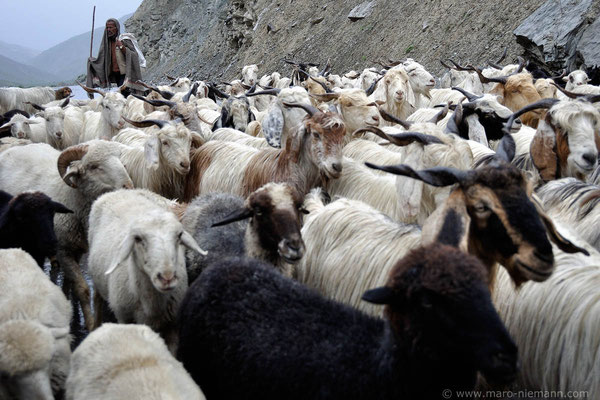 Shepherd - Ladakh - India