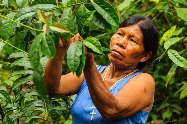 Quechua Woman Harvesting Guayusa - Ecuador