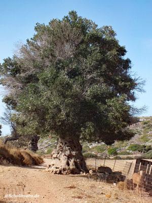 alte Olivenbäume,