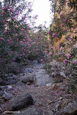 vorbei an blühenden Oleanderbüschen