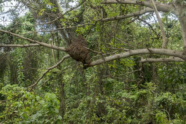 Termitenbau, Trelawny, Jamaica