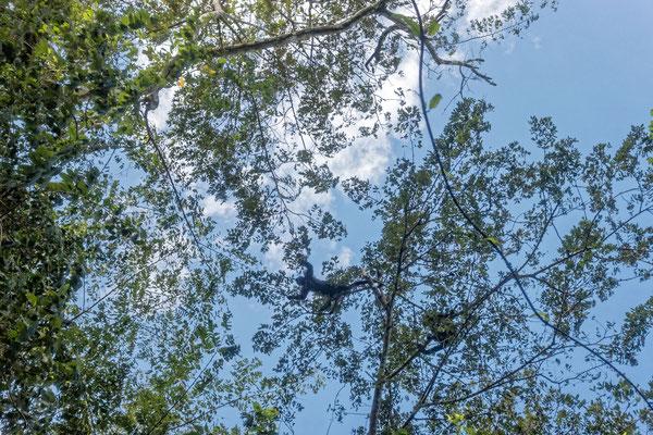 Brüllaffen in freier Wildbahn