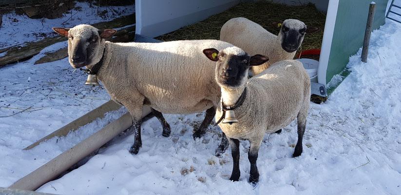 Schafe Shropshire
