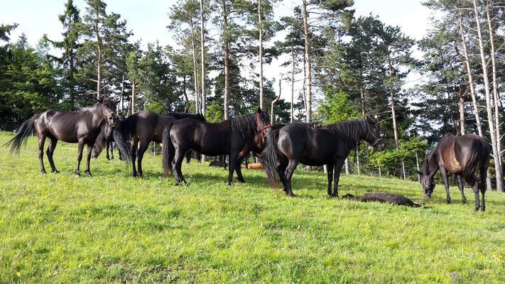 Bosnische Gebirgspferde in Slowenien