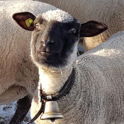 Schaf Shropshire