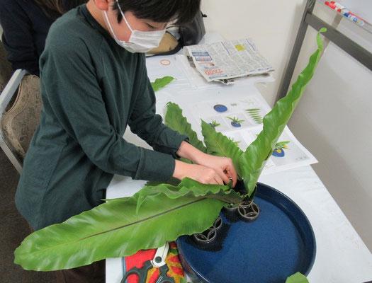 タニワタリの葉を七宝に挿し入れるRikuくん。初めてのお稽古で、苦労しながら一株に見えるようにタニワタリをいけています。