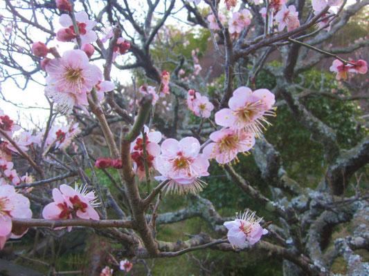 英勝寺はお花の寺でした。 紅梅も見事です。