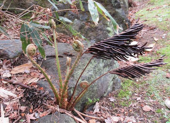 越冬した雁足の足元から新芽が伸びてきています。