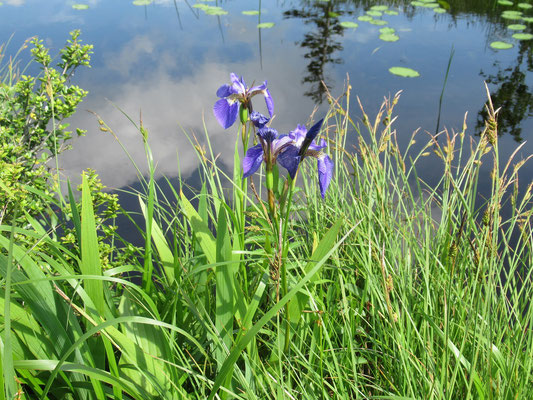 沼の水面には空が映り、イトトンボが宙を舞う。