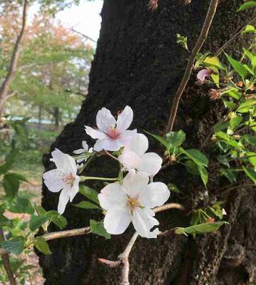 2018.4.4 東京都大田区、洗足池公園。