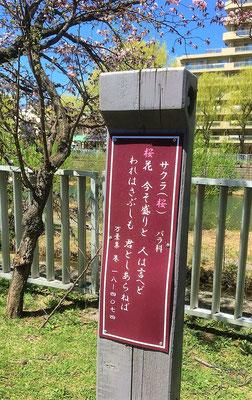 万葉集にある和歌。ちょっと調べてみましたら、作者は 大伴池主(おおとものいけぬし)で「桜の花が今盛りですよ、と人は言うけれど、私はさみしく思います。あなた様がいらっしゃらないので」という意味でした。