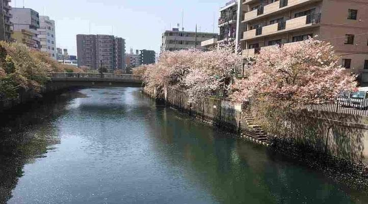 2018.4.4 こちらは横浜市中区。大岡川沿いの桜。見事です。川面に花びらがずいぶん散っていました。