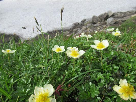 2020.8.10 雪渓(万年雪)のそばにはチングルマやツガザクラが咲いていた。
