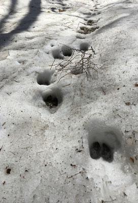 エゾシカの足跡。おしゃべりしながら歩いていた私たちに驚いて立ち去ったのでしょうか?