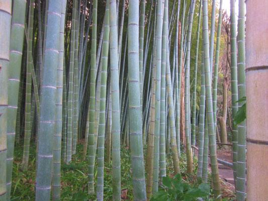 英勝寺の竹林。 下草はシャガ。