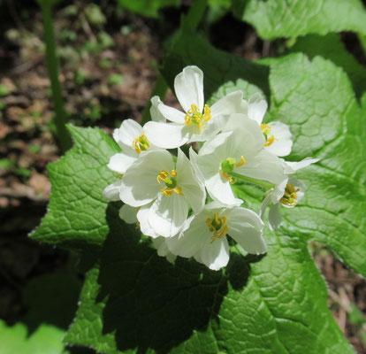 サンカヨウ。この花が結実して夏になると黒褐色の実になります。真夏の日差しの下、登山道でこの実に出合いたびたび口に含んだのを思い出しました。