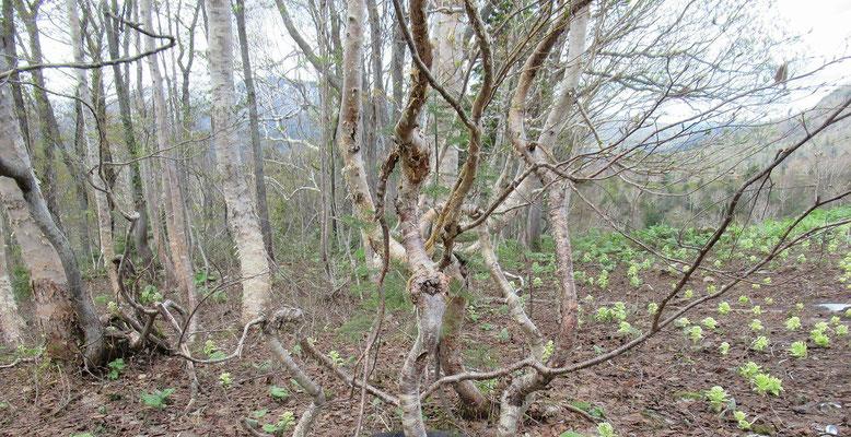 雪が解けたばかりの稜線上にはフキノトウがポコポコと顔を出し、くねくねとした幹の樺の木があった。小枝が風に揺れ、踊っているみたいで面白い?!