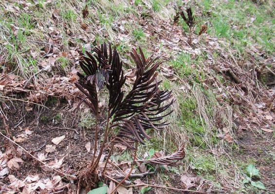 雁足 昨年の黒褐色の胞子葉が丈夫で強く越冬したもの。