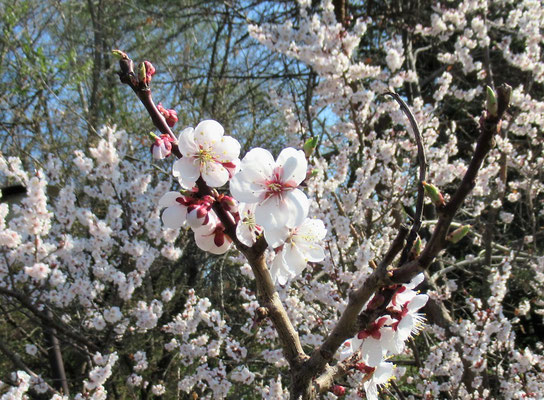 今年は、『令和』に因んで梅が目につきます。