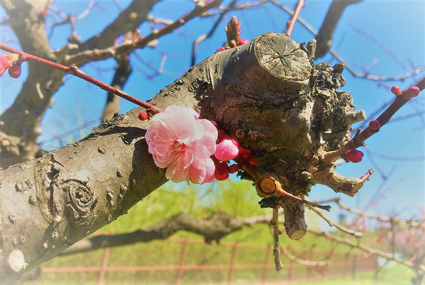 ほとんどはまだ蕾で、ようやく開花し始めた花を写しました。桜より梅の方が遅く咲くことが多いのが北海道の梅です。