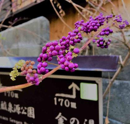 温泉街を散策。歴史の重みを感じる神社仏閣が。これは、ムラサキシキブの枝。
