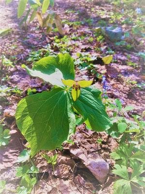 エンレイソウですが、淡緑色が珍しいです。札幌の砥石山で発見されたトイシノエンレイソウと似ていますが、詳しく調べると相違点がありました。