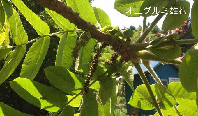 雄花の上の葉の隙間に赤い雌花が見えます。