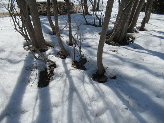 春。雪解けは木々の根元から始まります。