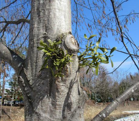 宿り木(ヤドリギ)も目覚めて「春だよー!」